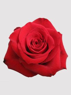 Бутоны розы сорта Фридом