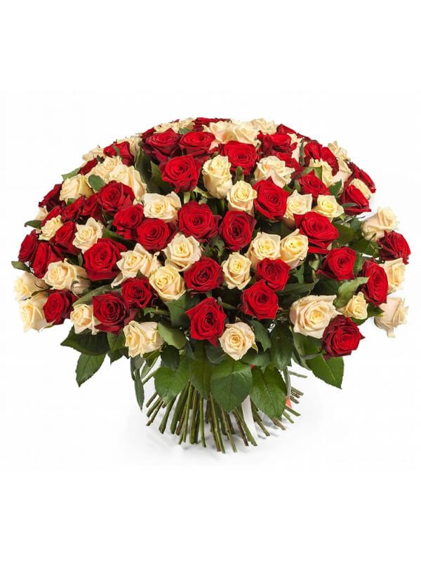 101 красная и кремовая роза